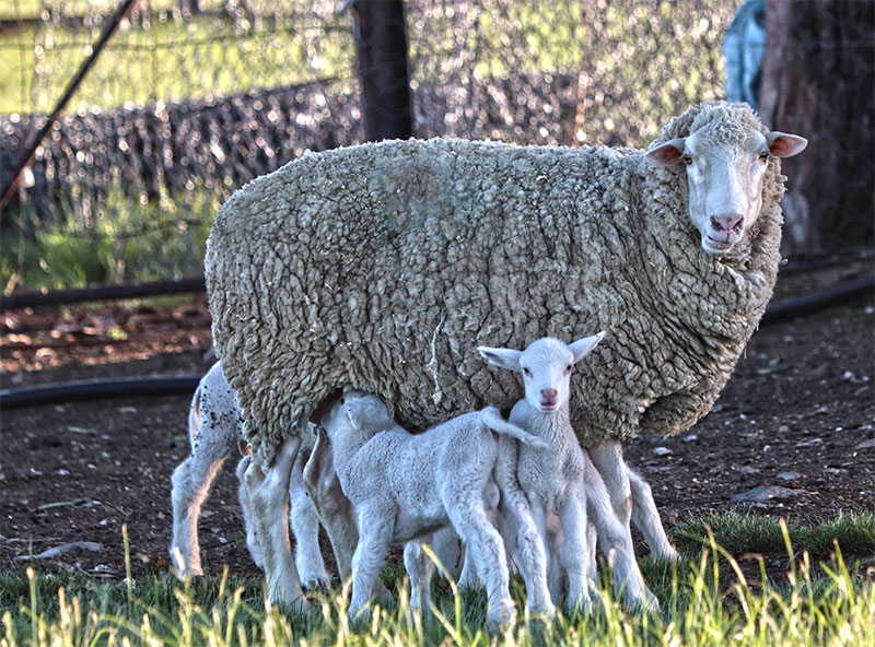 Sernick Precision Sheep Range